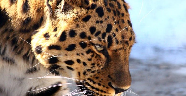 Leopard Is The King Of The Jungle And Not The Lion