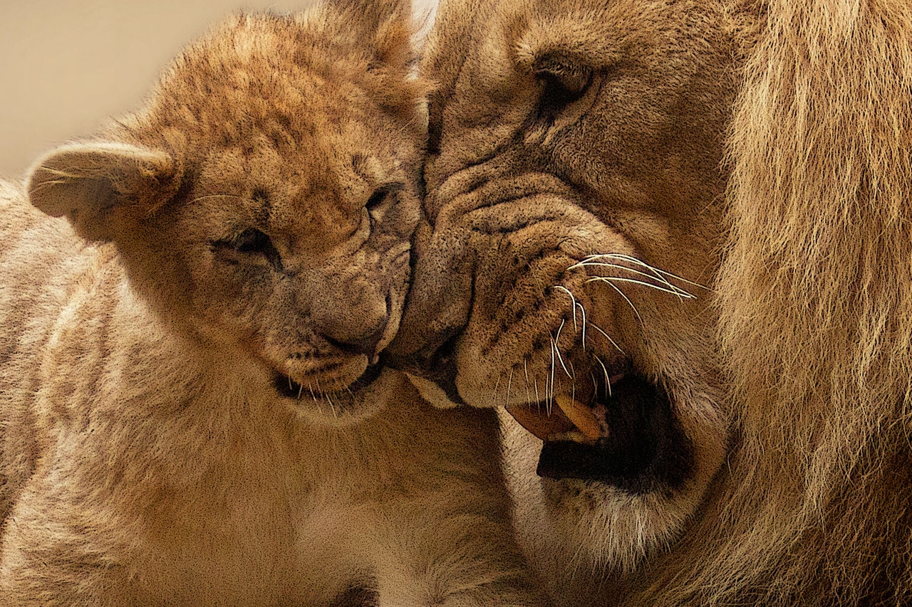 African Lions Plus Facts About African Lions In Africa