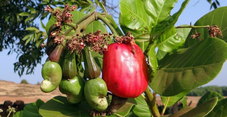 Cashew Nuts' Guinea Bissau's Cash Crop And largest Export Product