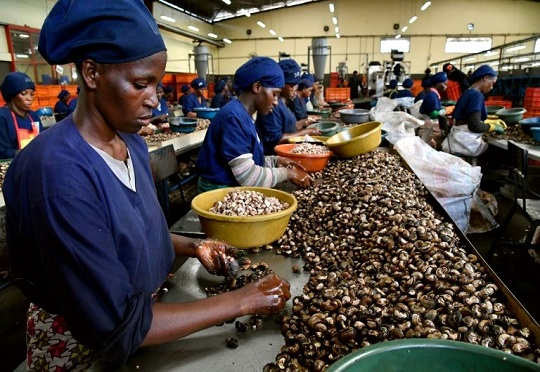 Cash Crop' Cashew Nuts Is Guinea Bissau's Cash Crop