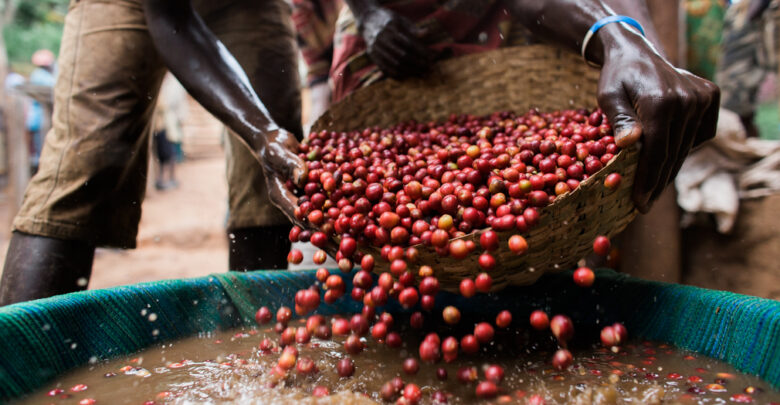 How Africa's Coffee Farmers Are Being Exploited' Losing $1.47bn a Year