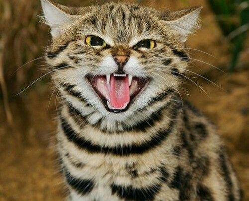 The Black Footed Cat' the Deadliest of Africa's Wild Cat Species