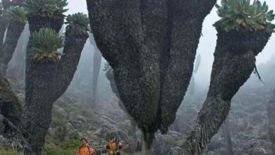 Giant Groundsels, Prehistoric Plants found on Mount Kilimanjaro, Tanzania